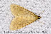 corn_borer_moth